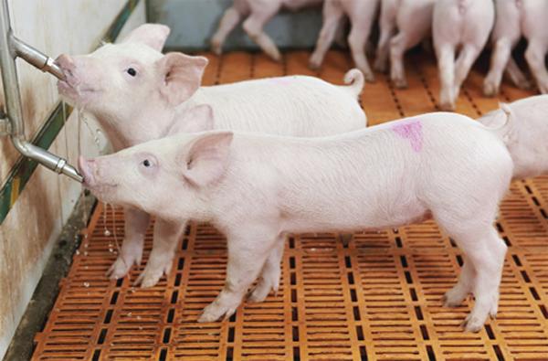 sử dụng ozone xử lý nước uống cho vật nuôi